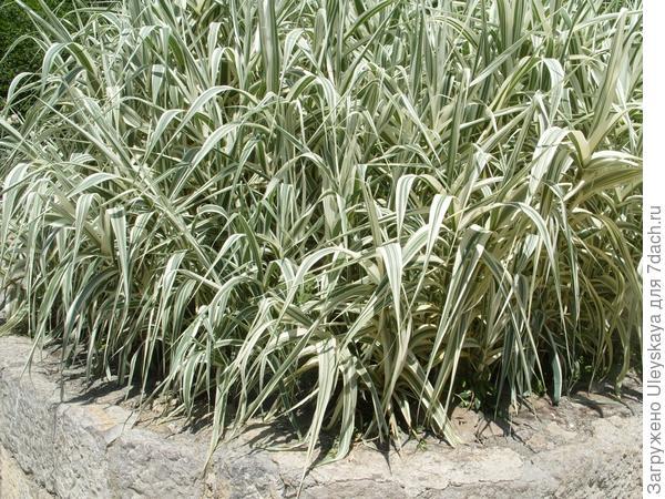 Испанский тростник