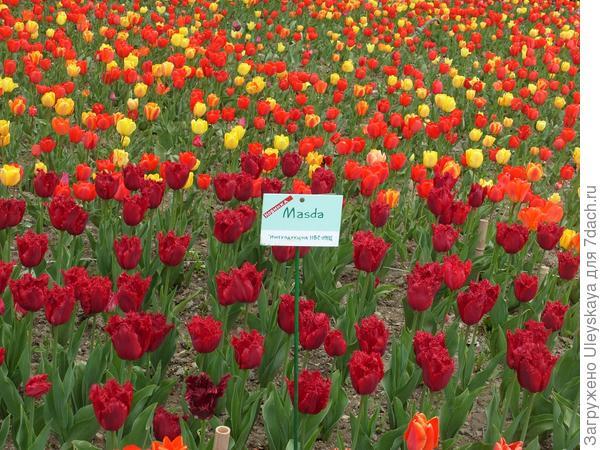 Тюльпан сорт Masda - новинка нашей выставки этого года