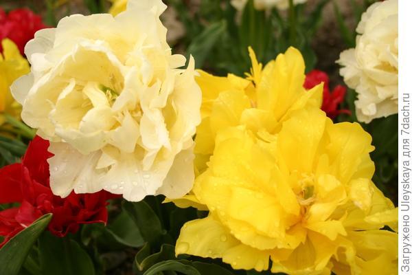 Роскошное цветение Махровых Ранних тюльпанов