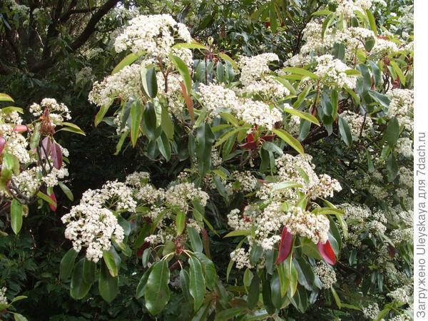Цветет фотиния пильчатая