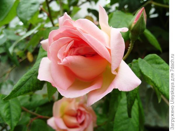 Первая отечественная роза сорт Графиня Воронцова