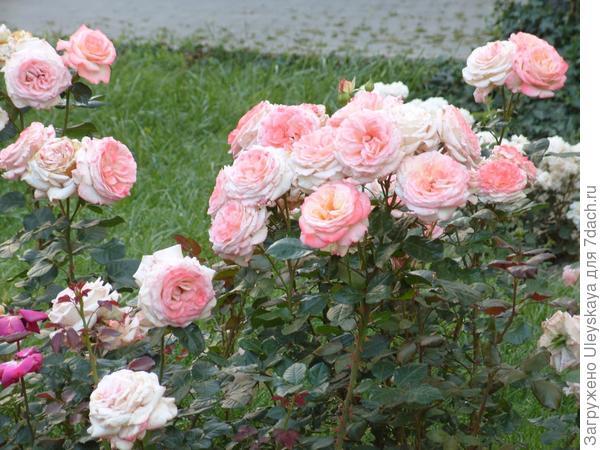 Новый сорт роз Зинаиды Константиновны Клименко