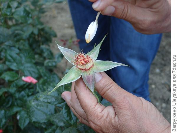 Наносим пыльцу на пестики