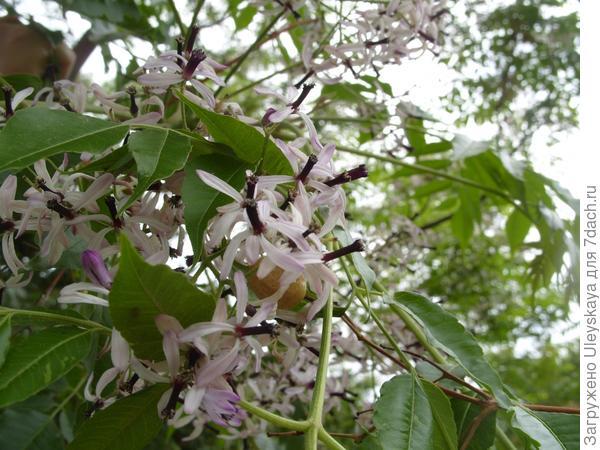Цветки мелии крупным планом