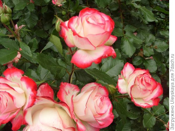 Роза сорт Jubile Prince de Monako или Юбилей Принца Монако не осталась незамеченной