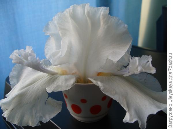 Цветок ириса сорт Mesmreizer