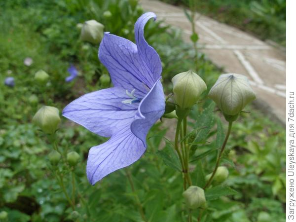 Ширококолокольчик крупноцветковый