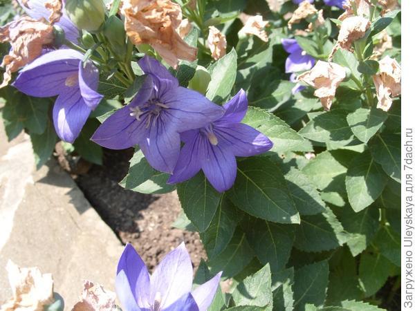 Ширококолокольчик с синими цветками