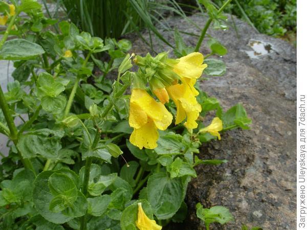 Цветки мимулюса пятнистого