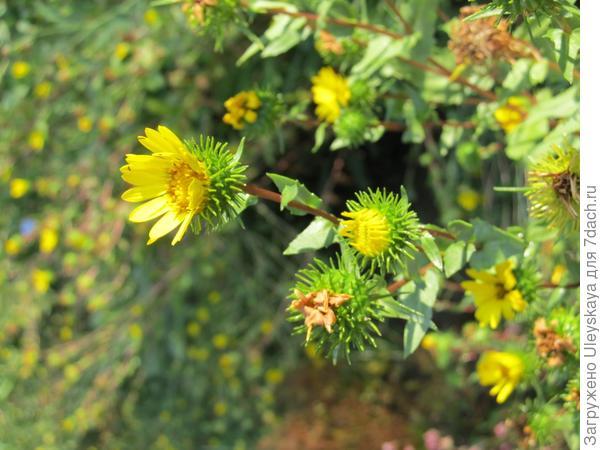 Цветки гринделии растопыренной