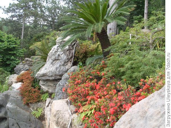 Саговники и азалии японского сада