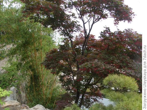 Золотистый бамбук, краснолистный клен веерный