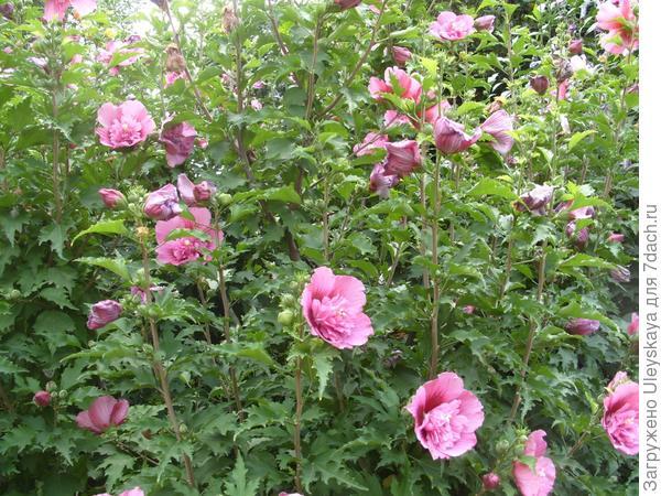 Купить семена сирийской розы доставка цветов в дзержинску cvety52.ru