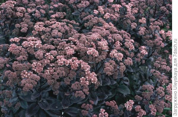 subsp. maximum Atropurpureum