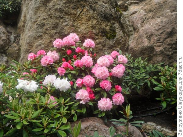 Цветут рододендроны