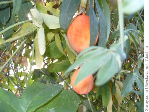 Спелые ягоды пассифлоры голубой