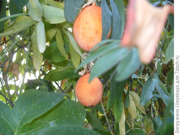 Спелые плоды-ягоды пассифлоры голубой