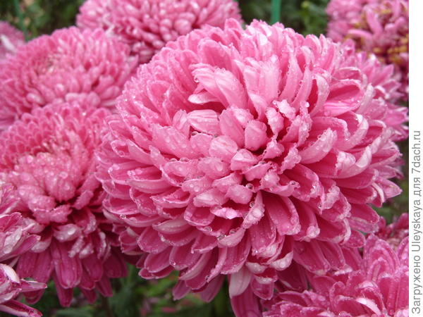 Розовый сорт Holmdel Dark