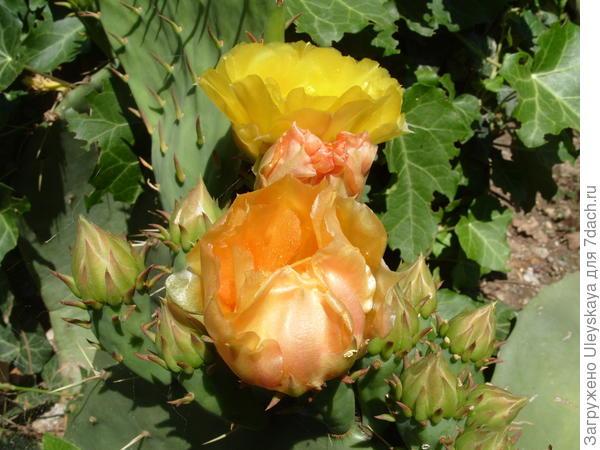 Опунция дисковидная в цветении