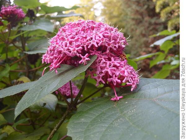 Цветущий в ноябре клеродендрон Бунге