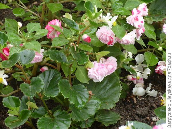 Цветет бегония вечноцветущая