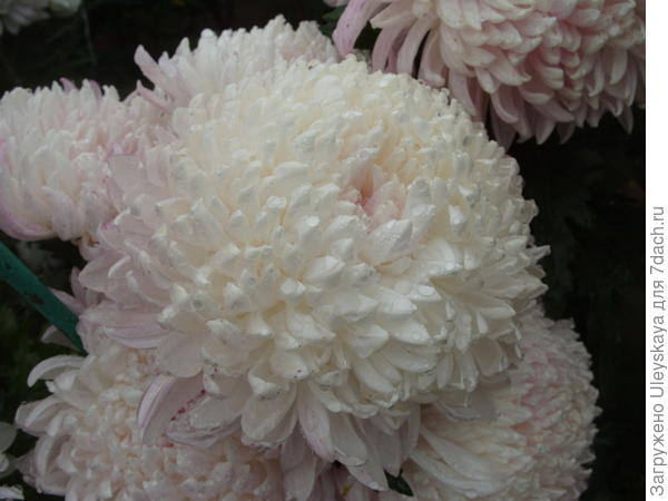 Белоснежное соцветие хризантемы сорт Milka White начало приобретать розовый оттенок