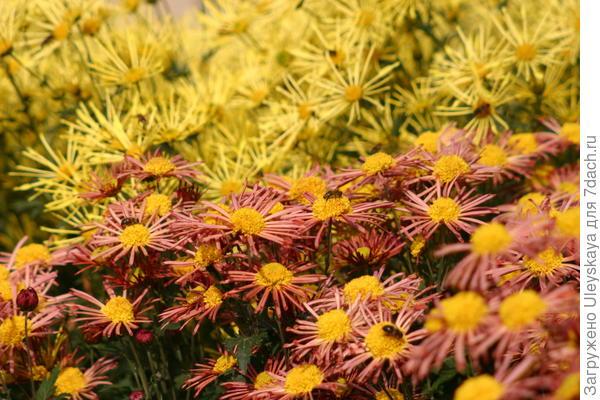 В Никитском ботаническом саду еще цветут хризантемы