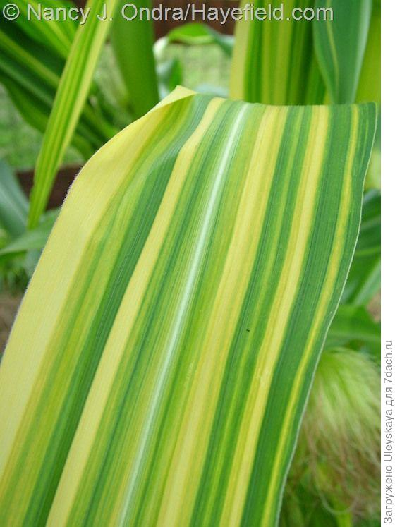 Кукуруза обыкновенная сорт Variegata