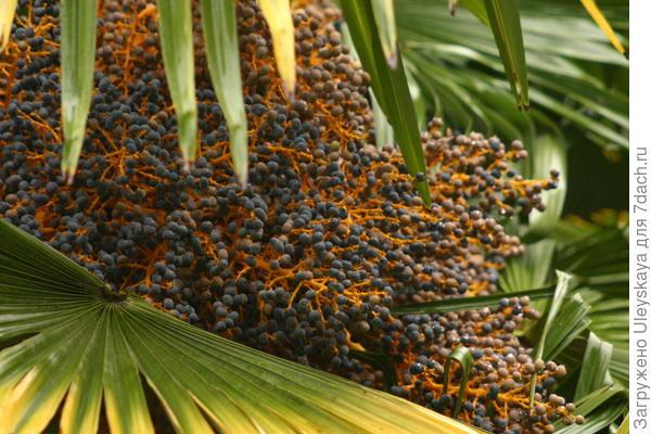 Пальма китайская веерная - трахикарпус Форчуна
