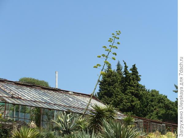 Цветет агава американская, Никитский ботанический сад