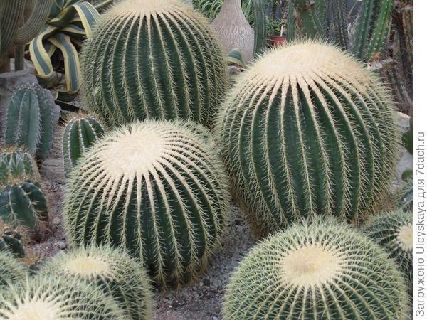 Красивая композиция – это здоровые растения; эхинокактус Грузона