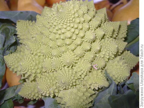 Цветная капуста сорт Амфора
