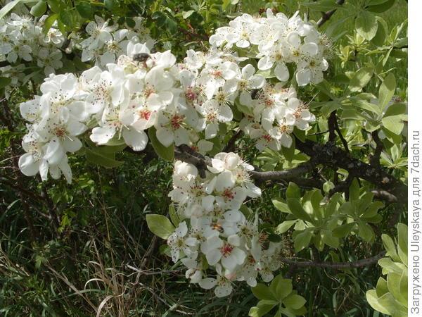Цветение груши лохолистной в апреле на Мангуп-кале