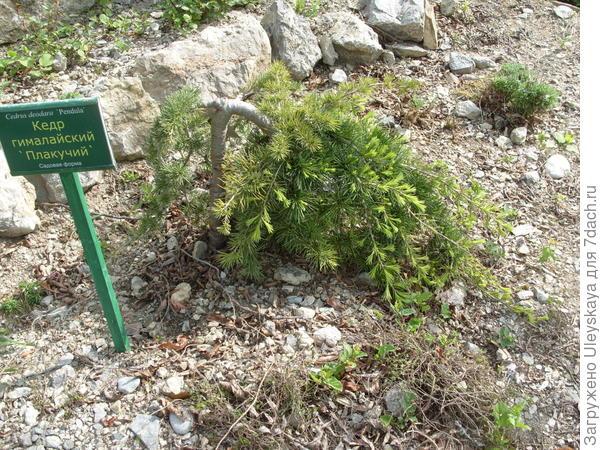 Кедр гималайский плакучий