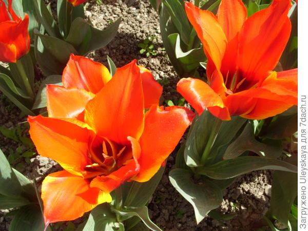 Тюльпан сорт Longfellow
