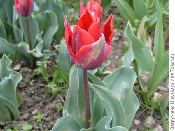 Тюльпан сорт Couler Cardinal