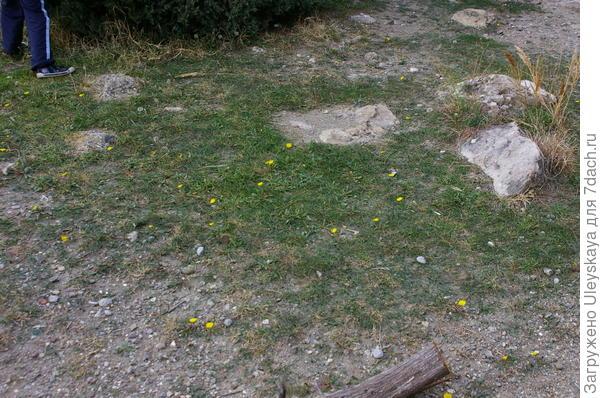 Цветут одуванчики в ноябре