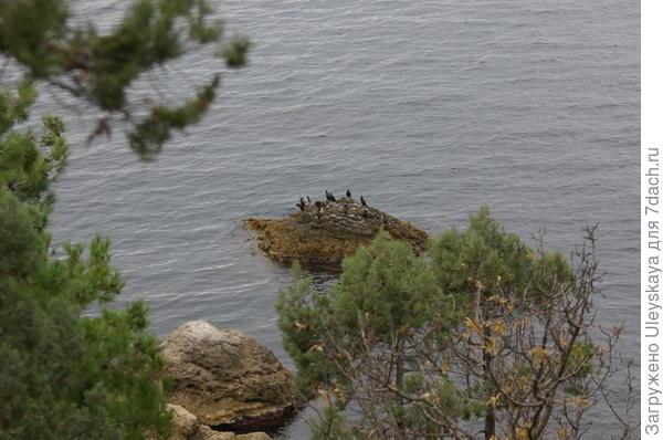 Черноморские бакланы