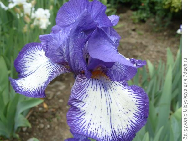 Blue Crusander