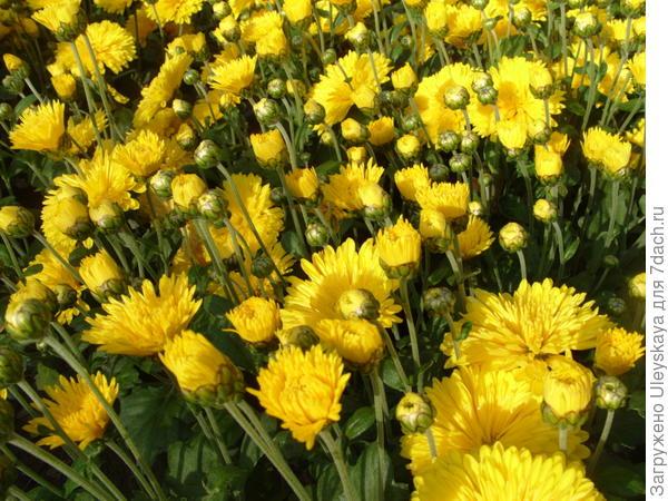 Хризантема сорт Златовласка