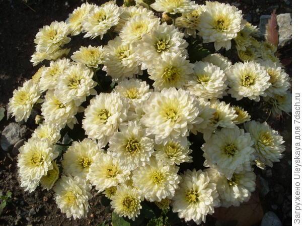 Хризантема сорт Grandeur