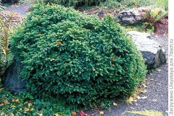 Picea glauca Echiniformis. Фото сайта sady-rossii.ru
