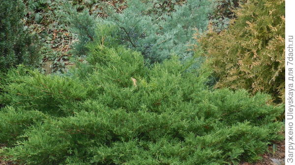 Juniperus horizontalis Prince of Wales на переднем плане