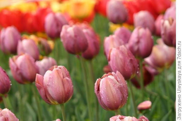 Тюльпан сорт Бабушкины Сказки
