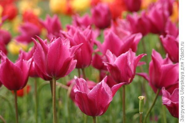 Тюльпан сорт Мираж