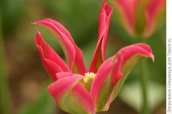 Экзотичная красота зеленоцветковых тюльпанов