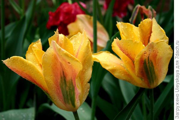 Цветут зеленоцветковые тюльпаны