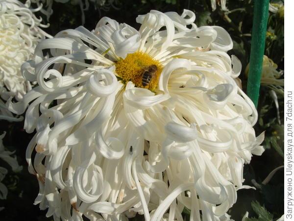 Хризантема сорт Белый Пудель