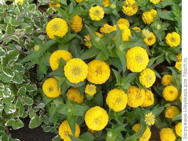 Цинния Карликовая Желтая