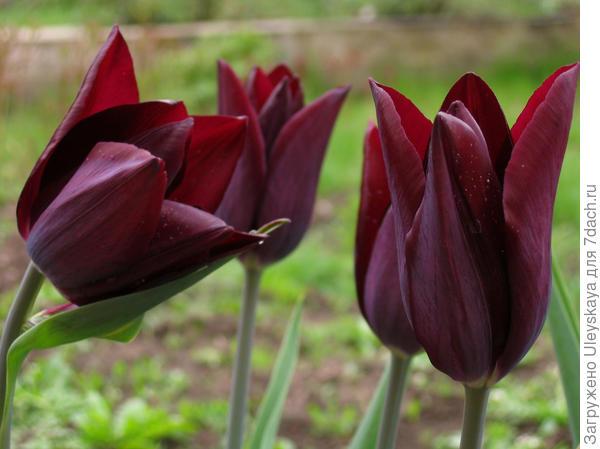 Окраска цветка варьирует от темно-вишневой, фиолетовой до белой, кремовой